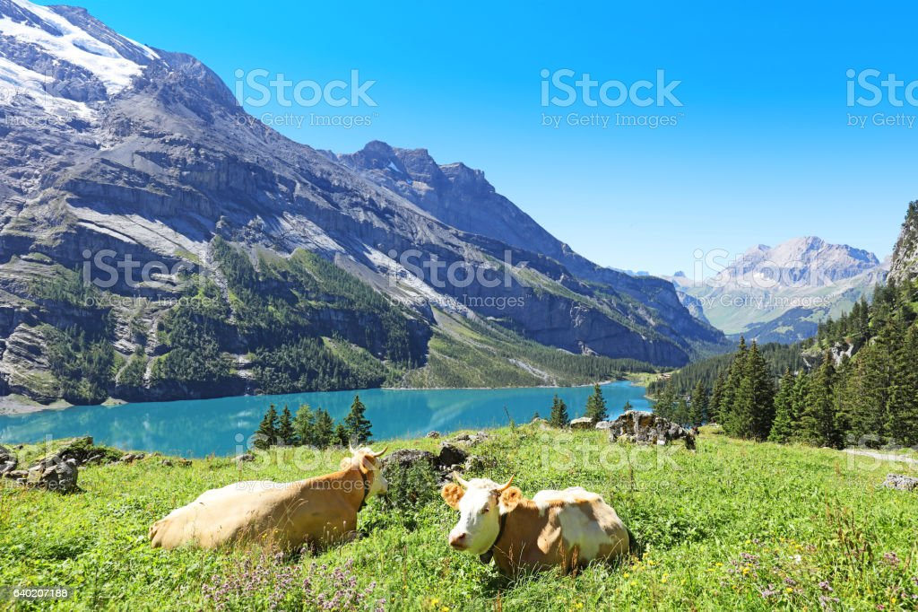 Swiss Cows in the Mountains in Berner Oberland Region stock photo