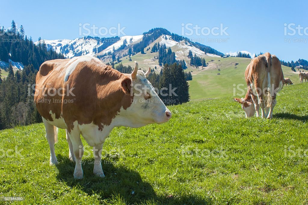 Swiss cows on pasture. Cow in alpine landscape stock photo