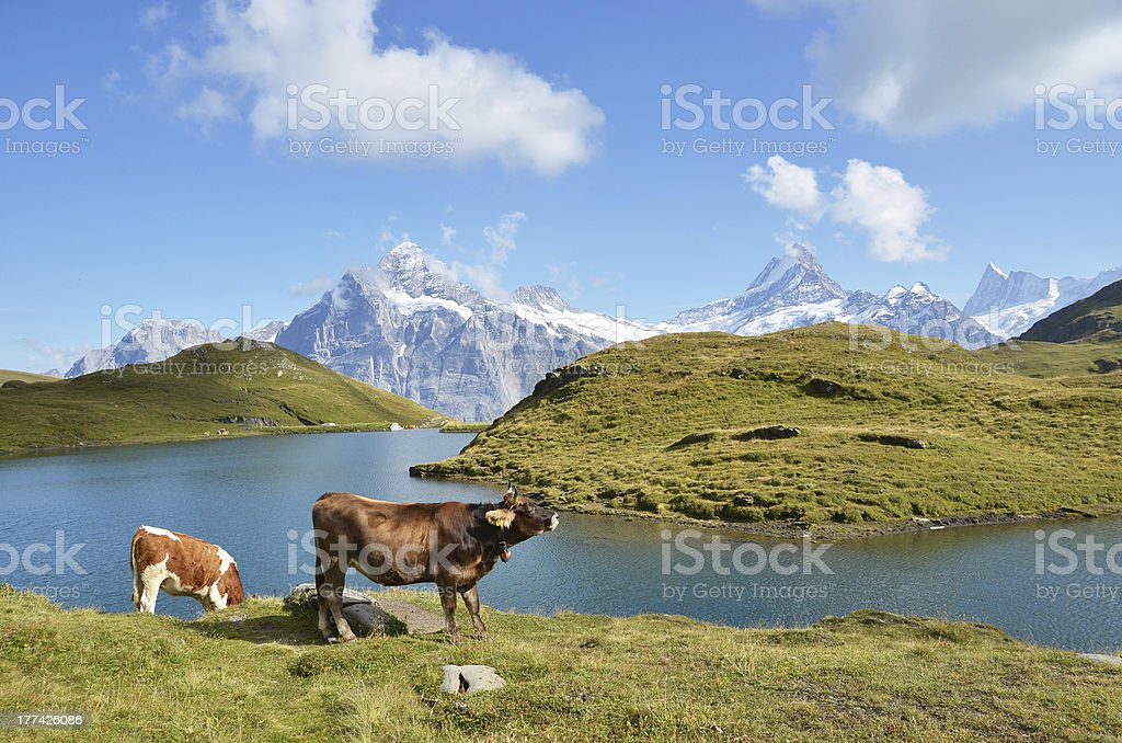 Swiss cows on the Alpine meadow royalty-free stock photo