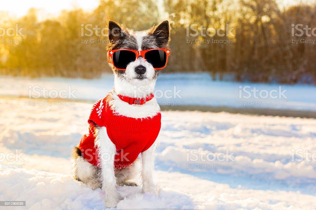 swiss dog winter stock photo
