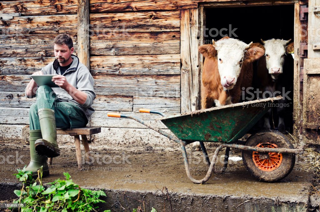 Swiss farmer next to cattle with digital tablet stock photo