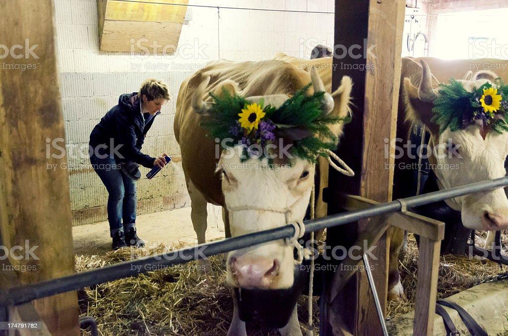 Swiss farmer woman preparing simmental cattle for Aelperfest stock photo