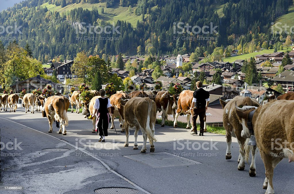 Swiss farmers bringing their cattle to the town stock photo