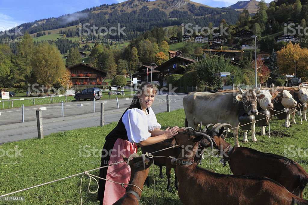 swiss farmers daughter prepares goats and cattle for agricultural show royalty-free stock photo