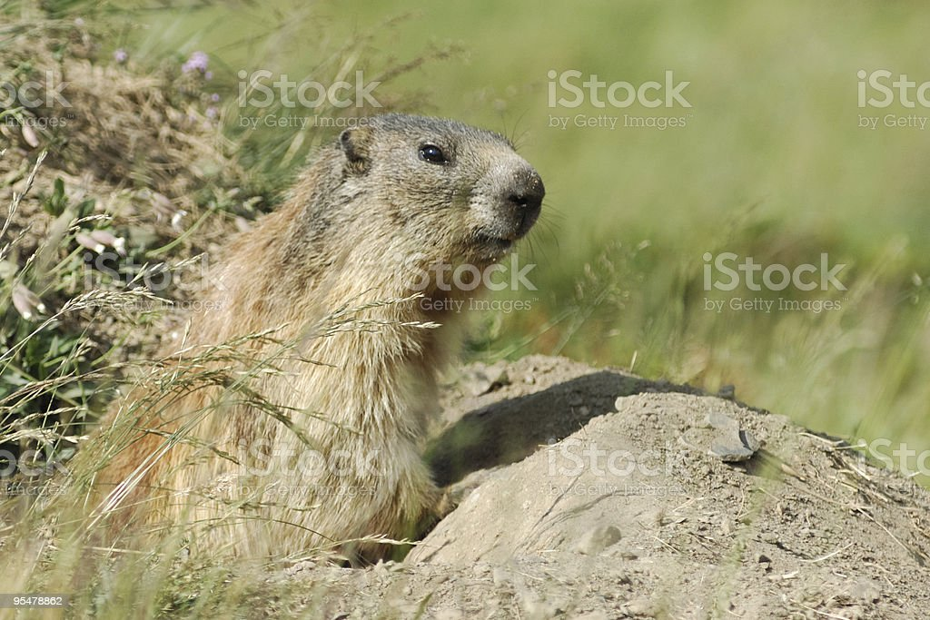 Swiss groundhog emerging from its burrow stock photo