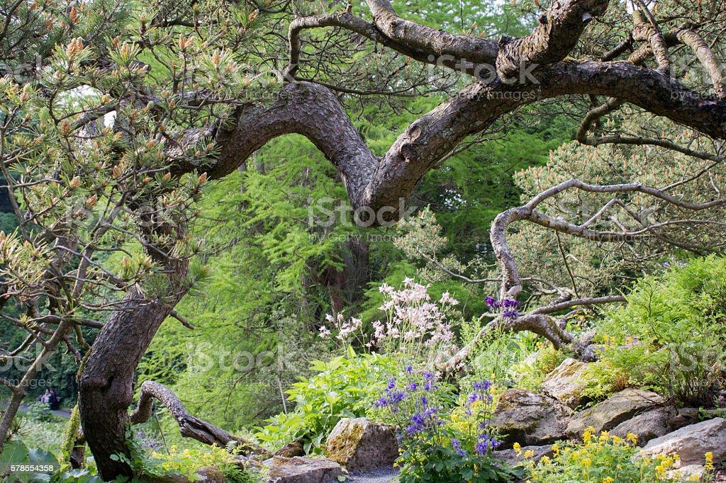 Swiss mountain pine (Pinus mugo) stock photo