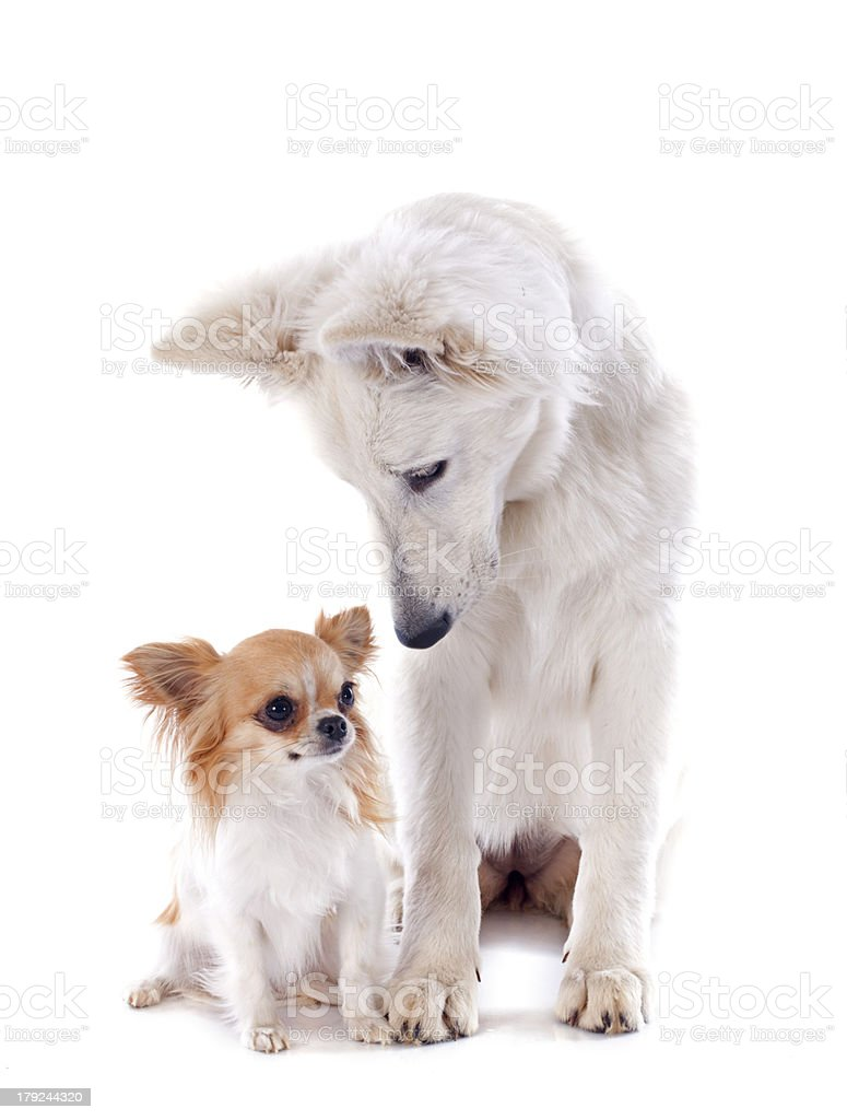 Swiss shepherd and chihuahua royalty-free stock photo