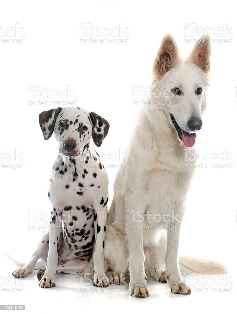 swiss shepherd and dalmatian stock photo