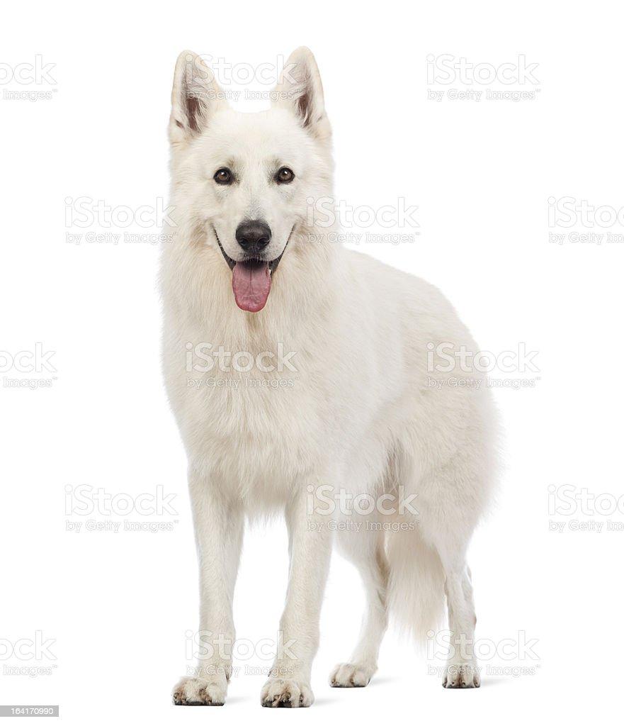 Swiss Shepherd dog, 5 years old, panting royalty-free stock photo