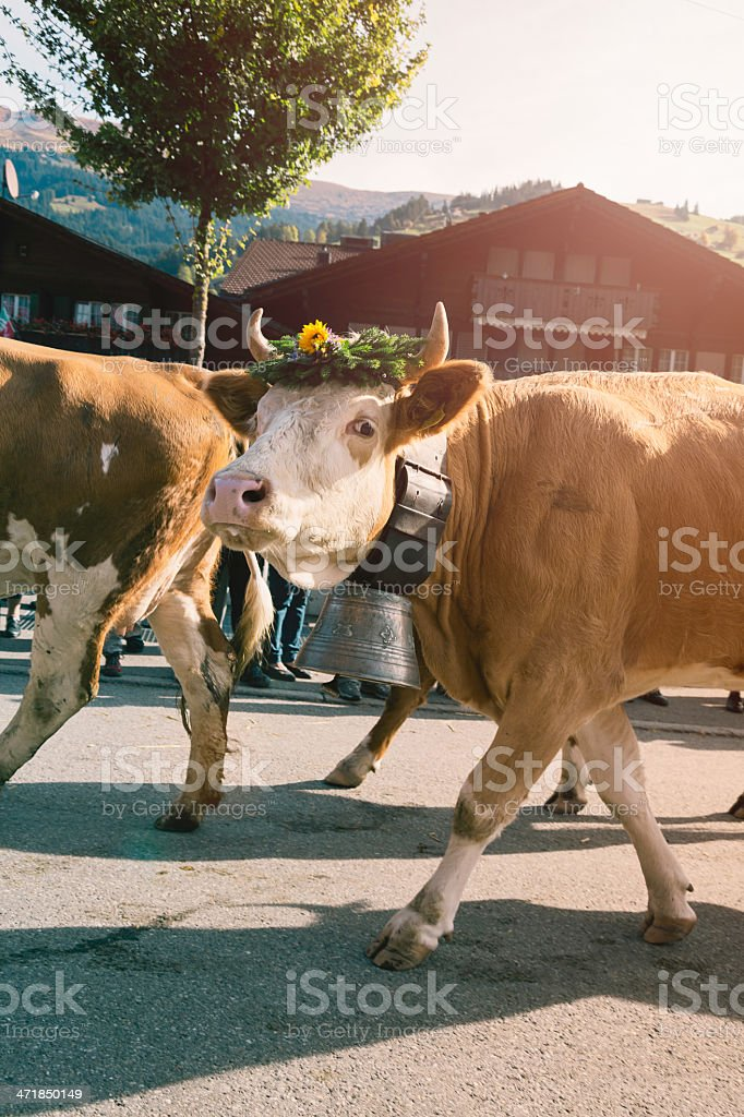 Swiss Simmental cow with giant Bell parading royalty-free stock photo