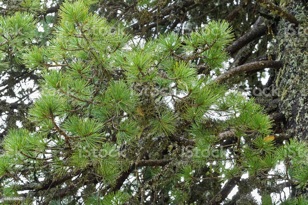 Swiss stone pine needle leaves with lichen growing on branch stock photo