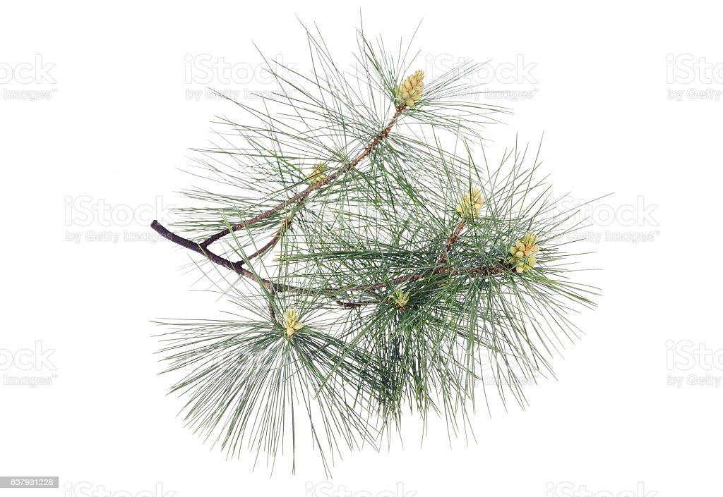 Swiss stone pine stock photo