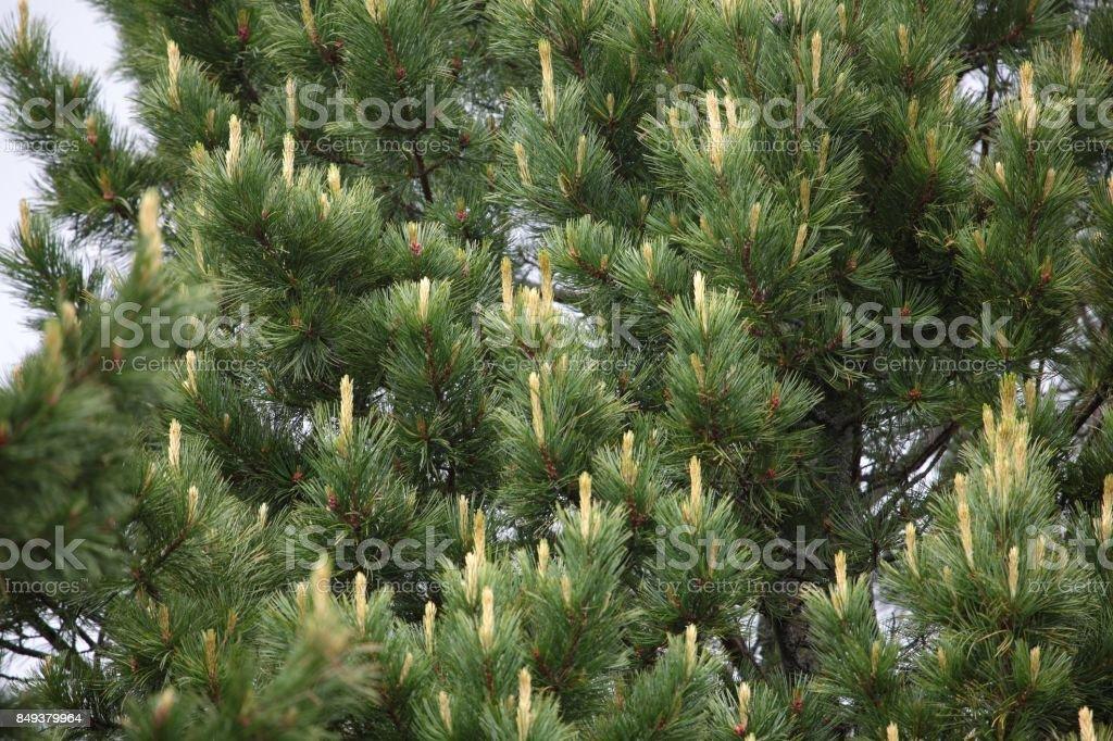 Swiss Stone Pine (Pinus cembra) stock photo