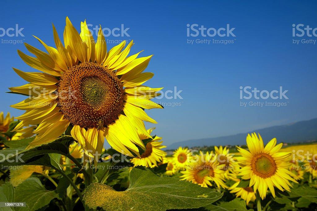 Swiss Sunflowers royalty-free stock photo