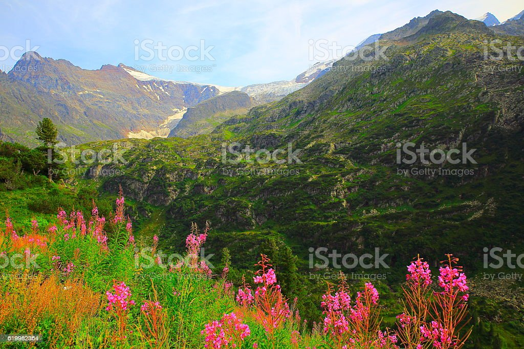 Swiss Uri Alps landscape, Pink wildflowers flowerbed, Susten Pass, Andermatt stock photo