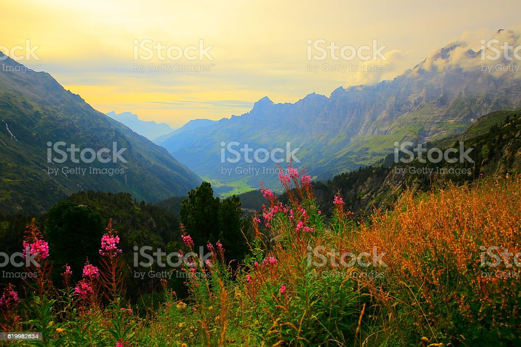 Swiss Uri Alps landscape, Pink wildflowers flowerbed, Susten Pass, Andermatt stock photo