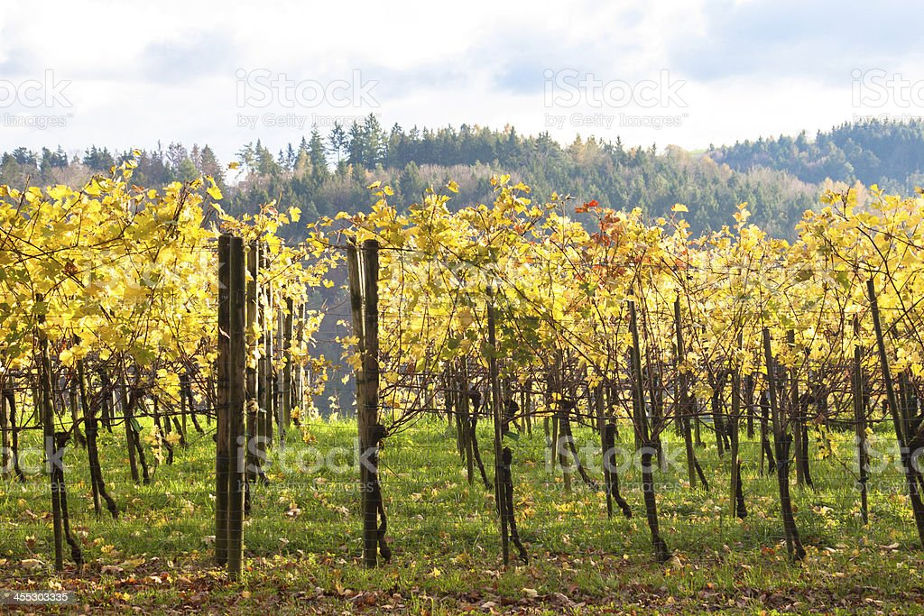 Swiss vineyard in autumn. stock photo