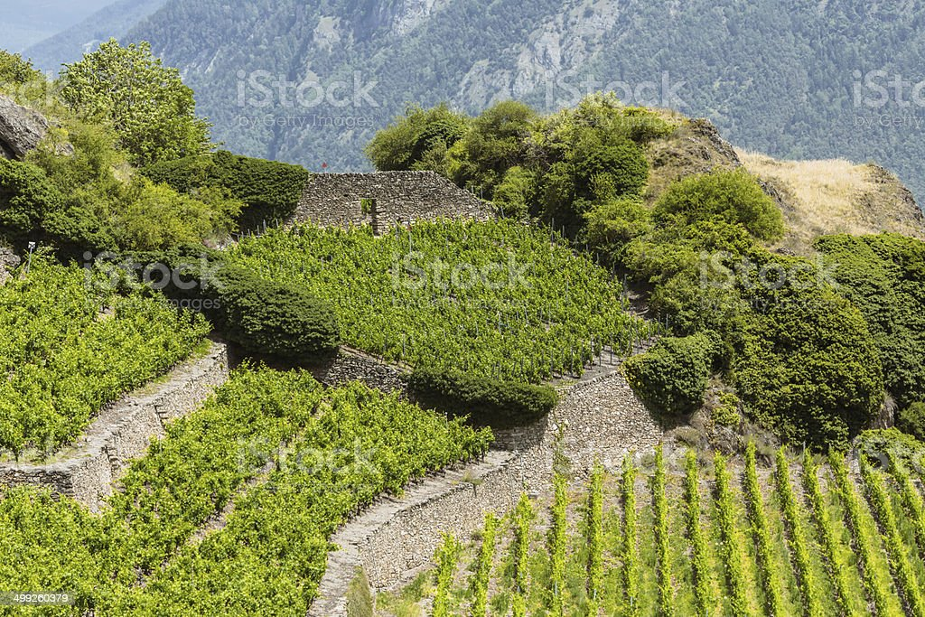 Swiss Vineyard in Sion stock photo