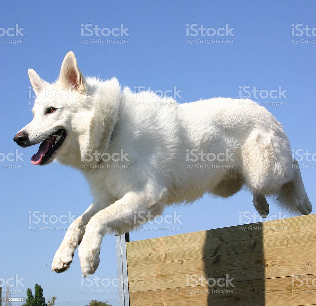 berger blanc suisse en plein saut royalty-free stock photo