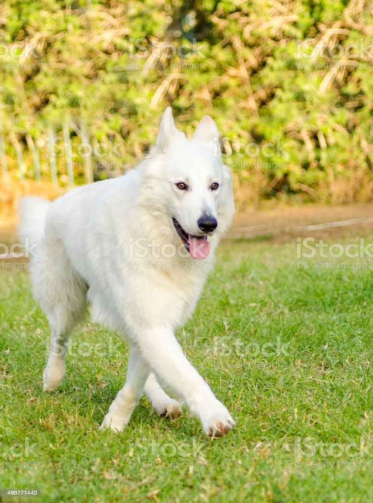 Berger Blanc Suisse stock photo