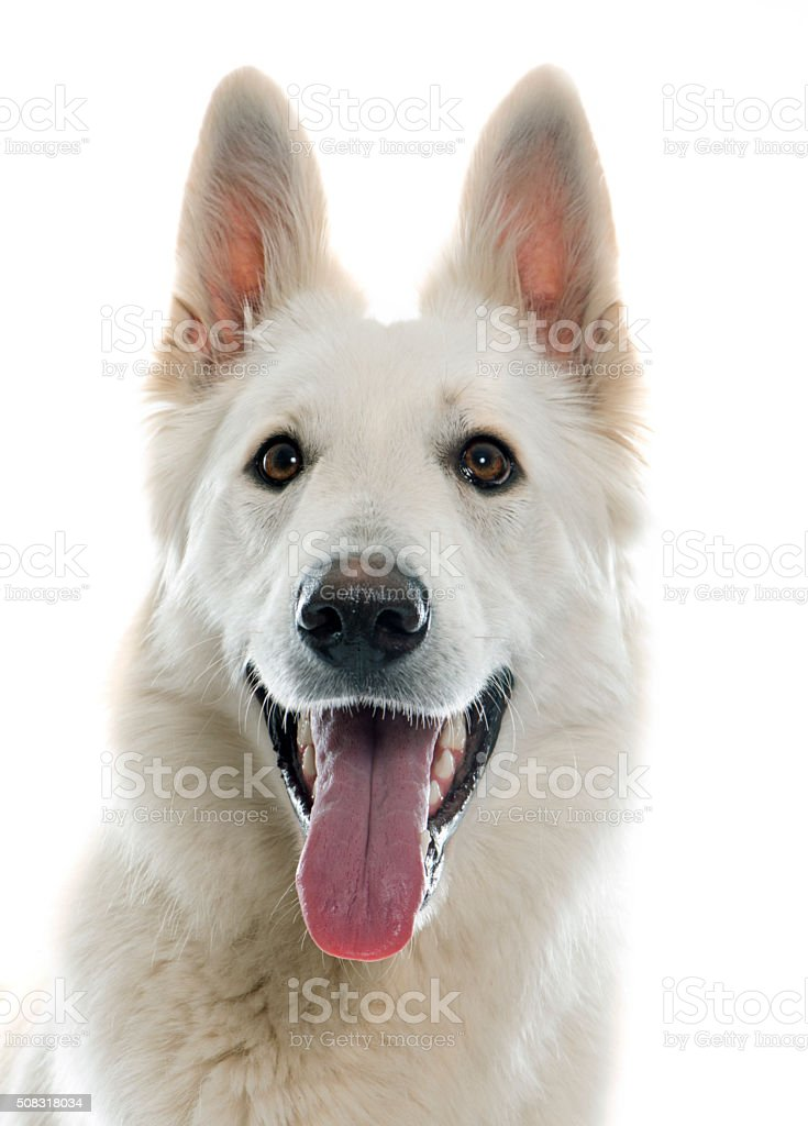swiss white shepherd stock photo