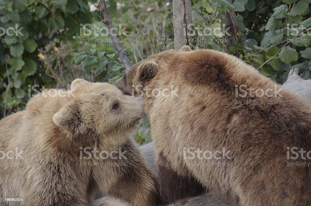 Switzerland, Bern , bear parks royalty-free stock photo