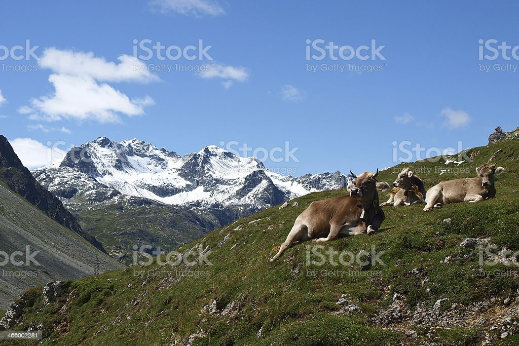 Switzerland, Cows on the mountains stock photo