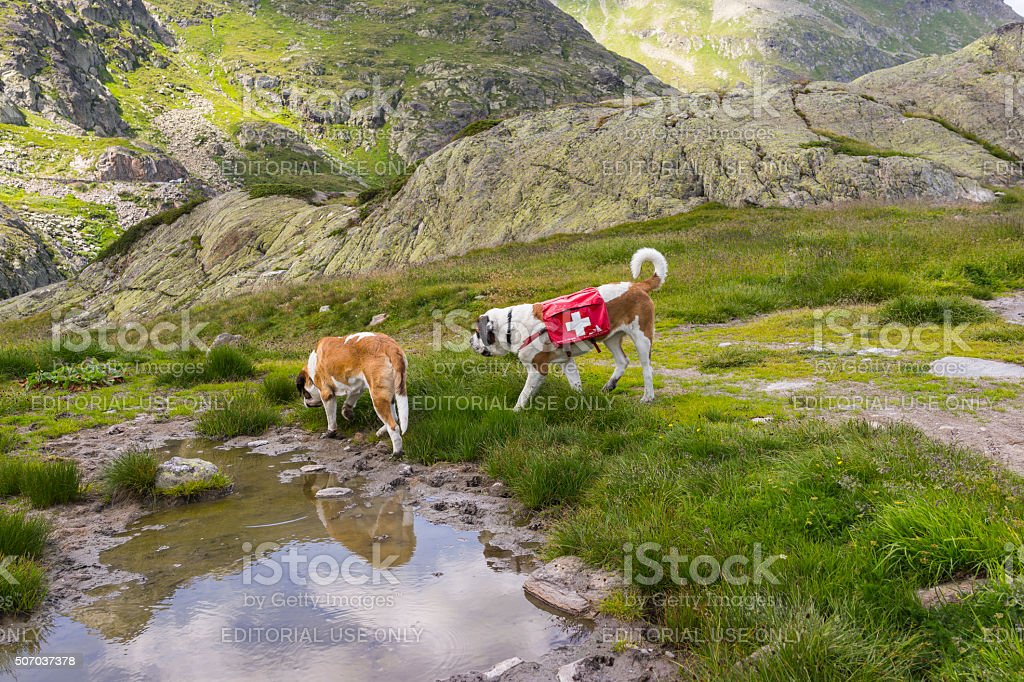 Switzerland. Dogs of the St Bernard Hospice during a walk stock photo