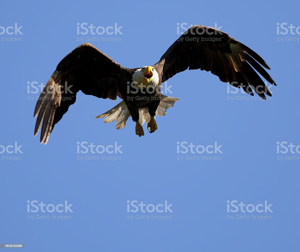 Swooping Bald Eagle; The Last Thing His Prey Ever Sees royalty-free stock photo