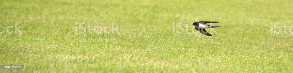 Swooping Swallow flying at speed low over cut grass lawn royalty-free stock photo