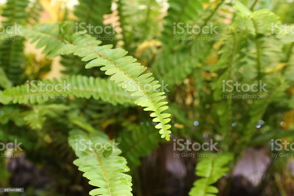 Sword Fern, Davalliaceae, Nephrolepis Cordifolia L Presl stock photo