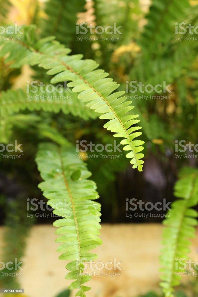 Sword Fern - Davalliaceae - Nephrolepis Cordifolia L Presl stock photo