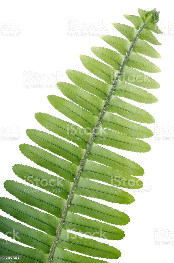 Sword Fern stock photo