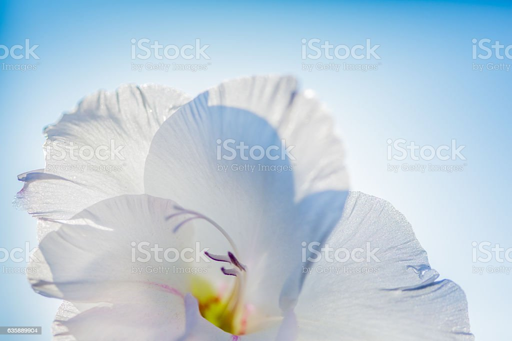Sword Lily  - Gladiolus stock photo
