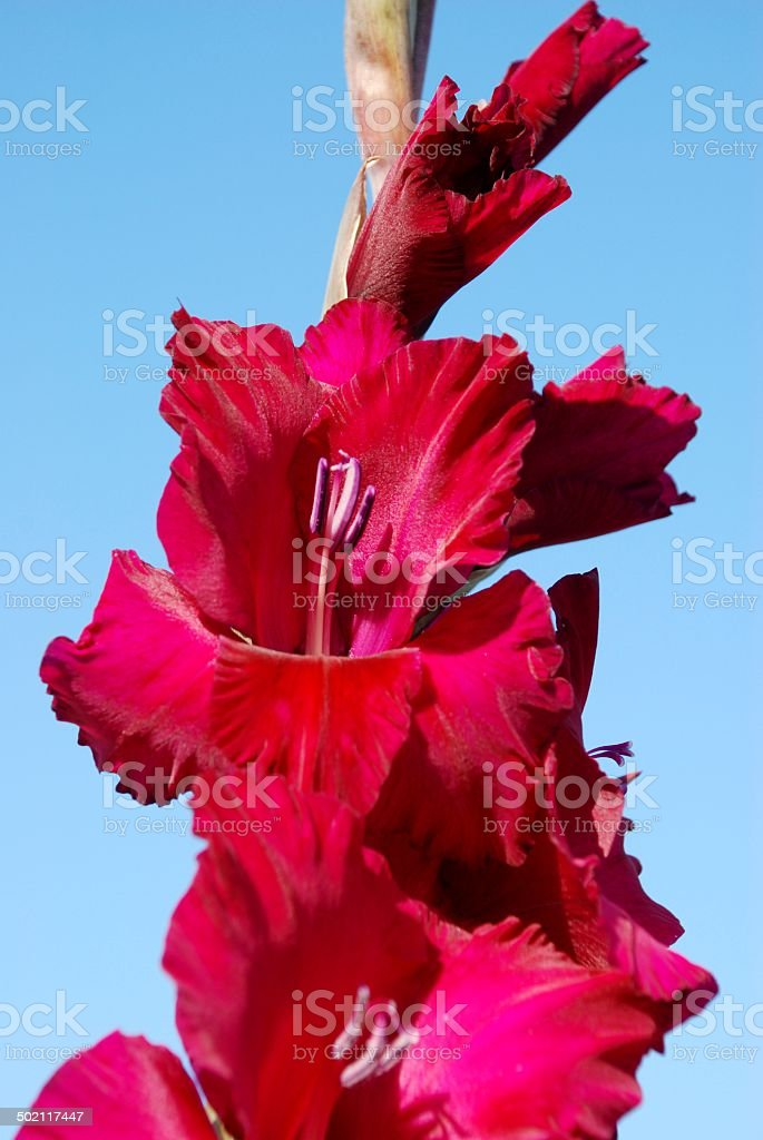 sword lily royalty-free stock photo