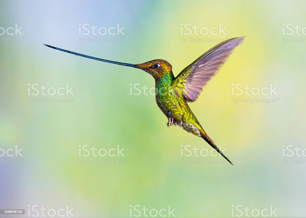 Sword-billed Hummingbird stock photo