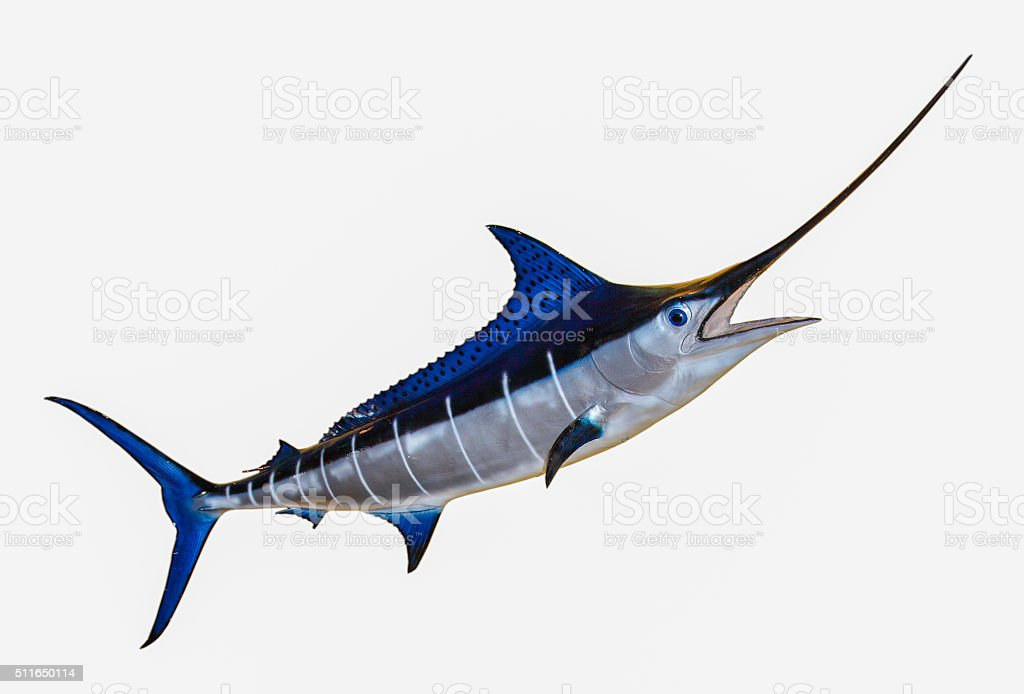 Swordfish- Blue Marlin stock photo