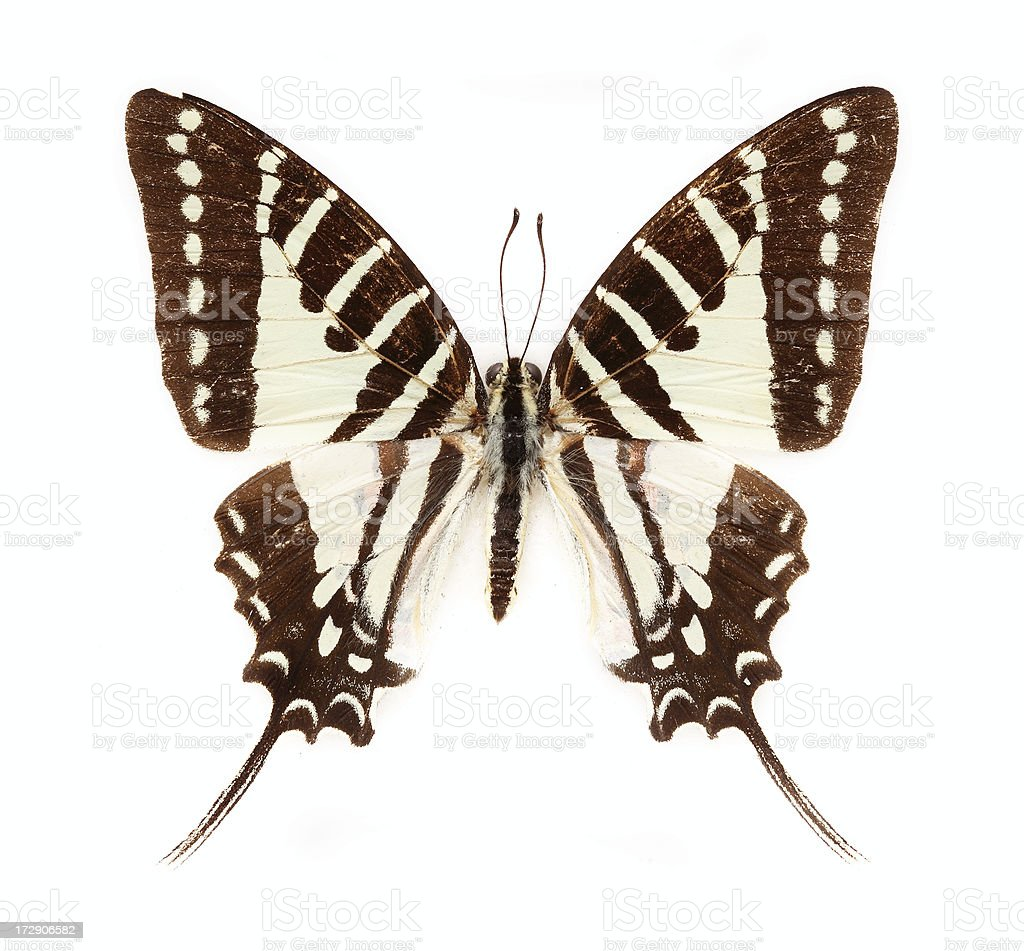 Swordtail Butterfly stock photo