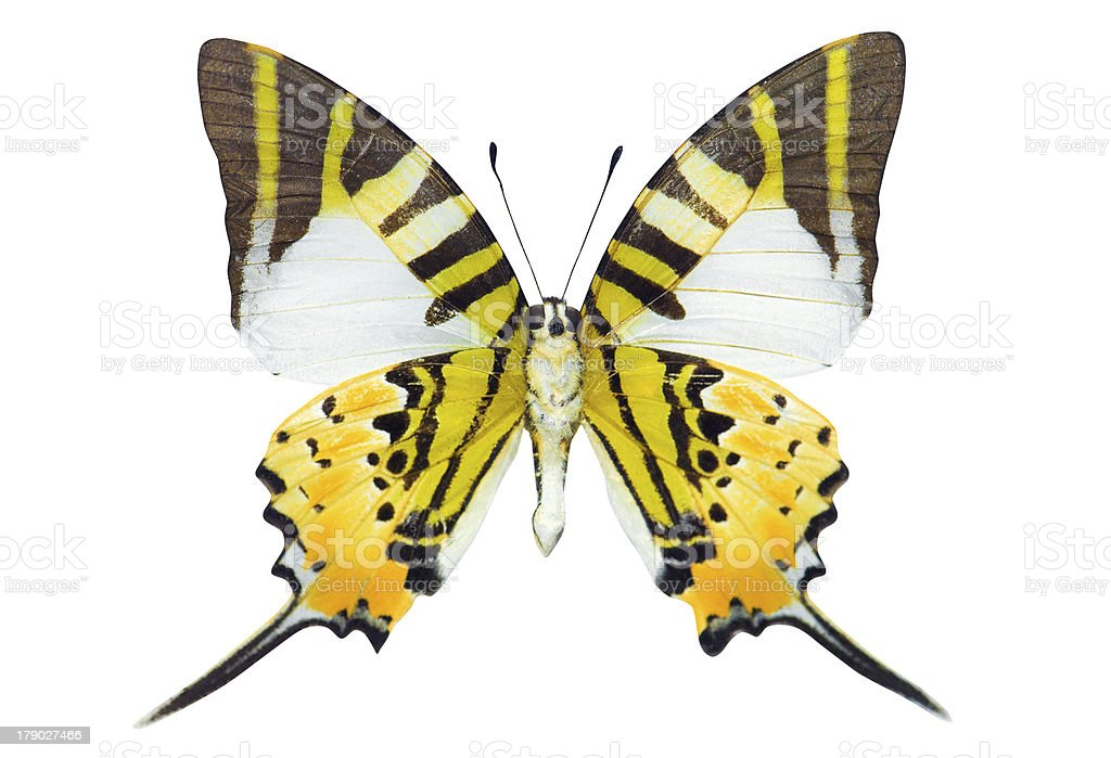 Swordtail butterfly royalty-free stock photo