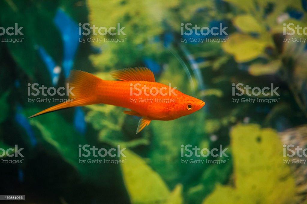 Swordtail Fish stock photo