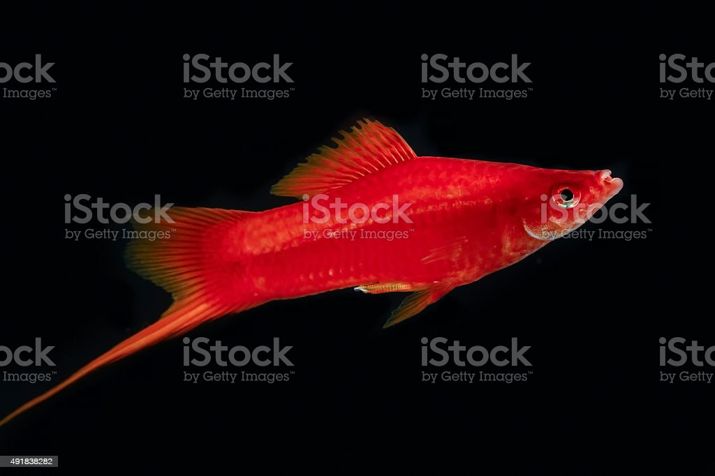 Swordtail red color males in the dark stock photo