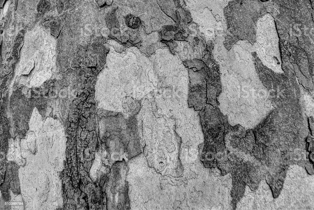 Sycamore bark grey texture stock photo