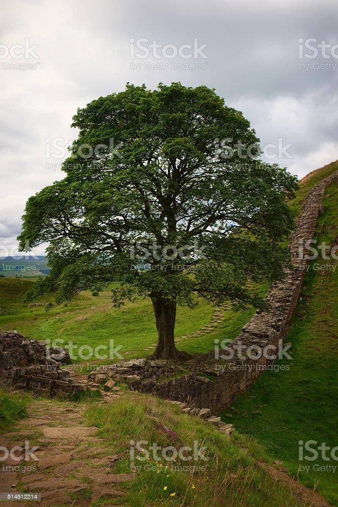 Sycamore Gap At Hadrian's Wall stock photo
