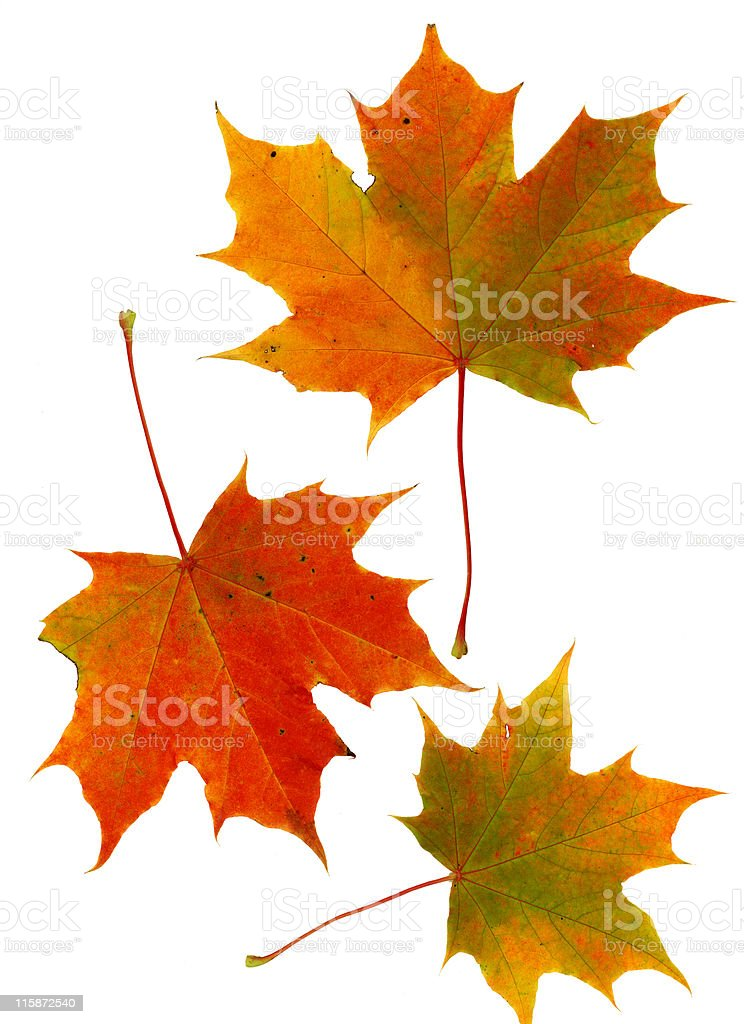 Sycamore leaves stock photo
