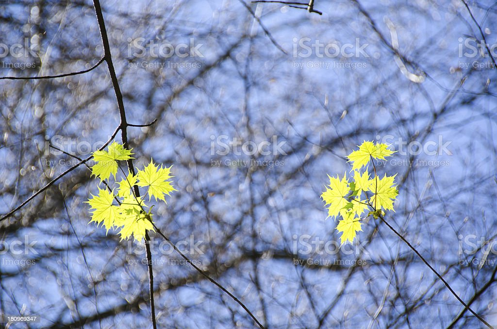 Sycamore maple, Acer pseudoplatanus royalty-free stock photo