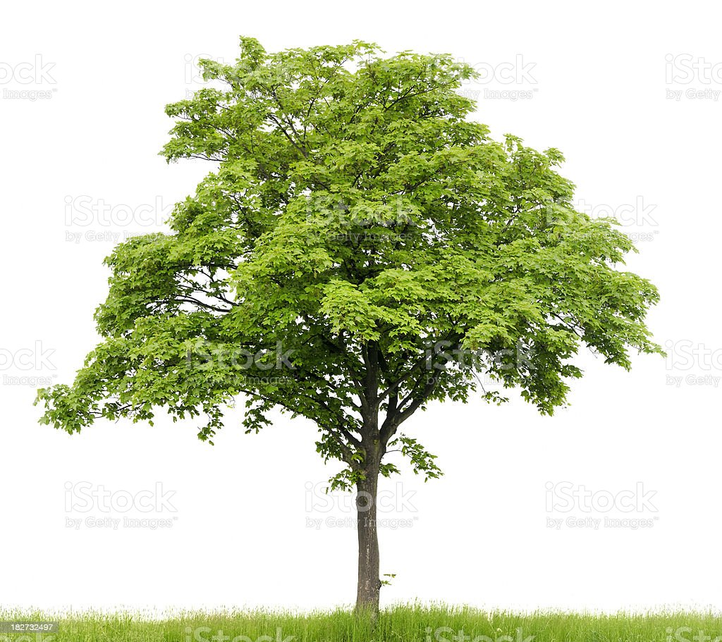 Sycamore Maple (Acer pseudoplatanus) on meadow isolated on_white. royalty-free stock photo
