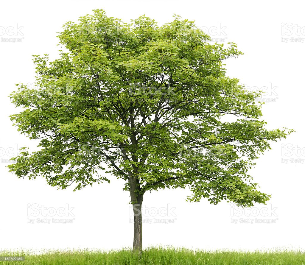 Sycamore Maple (Acer pseudoplatanus) on meadow isolated on_white. stock photo
