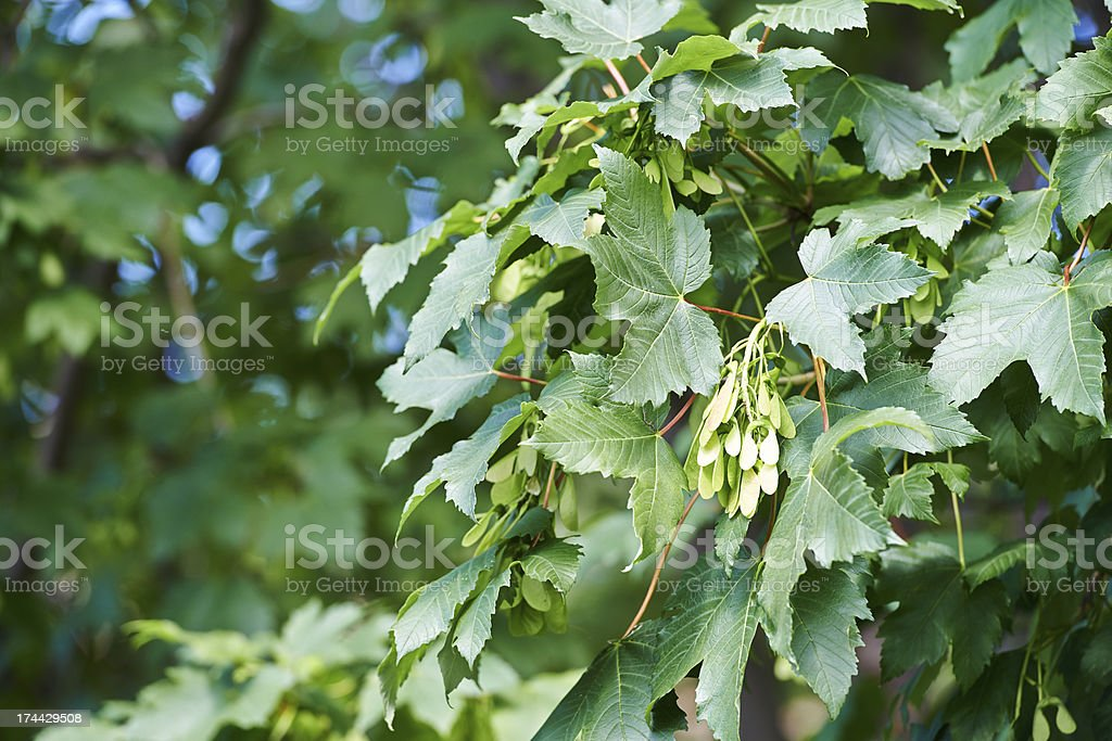 Sycamore Maple royalty-free stock photo