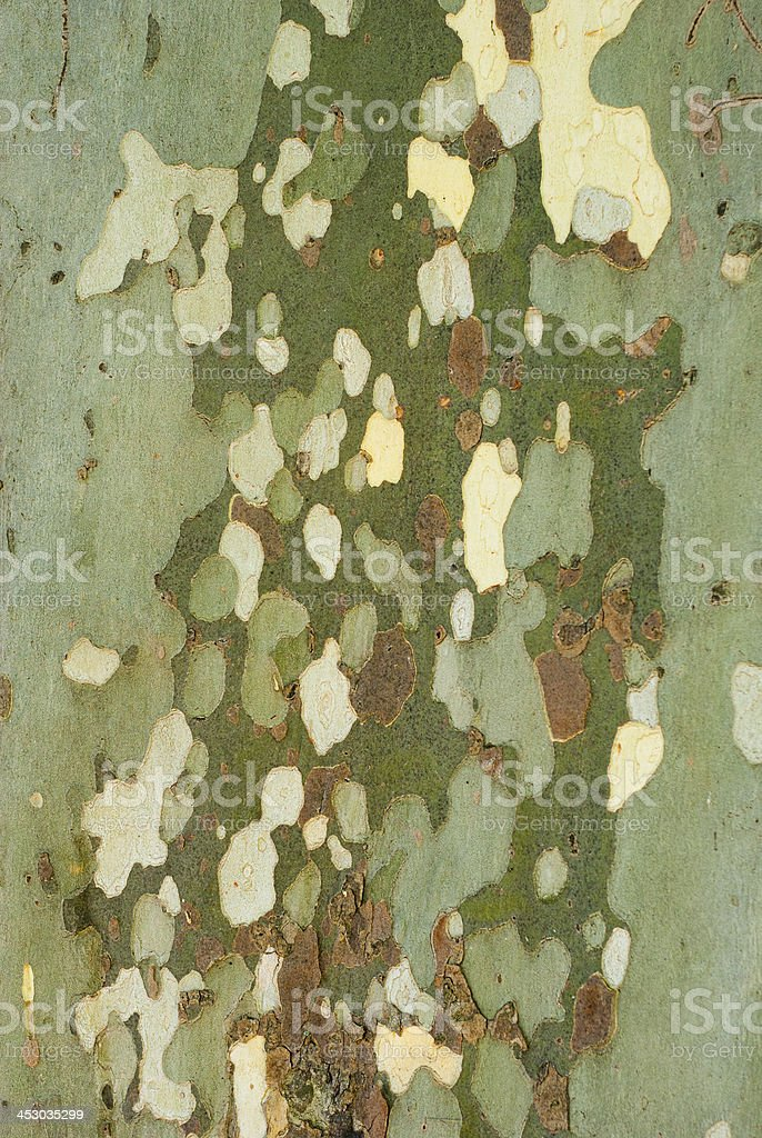 Sycamore royalty-free stock photo