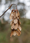 sycamore seeds with blurred backround